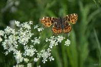 Dieverbrug - butterfly