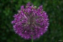 drenthe-flowers-40thousandkm-73753-001