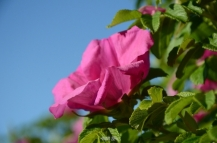 Wid rose in Jastarnia