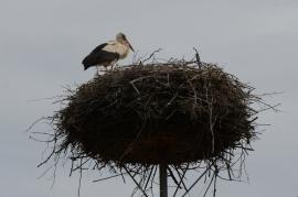 Stork nest - Studzianki, Poland