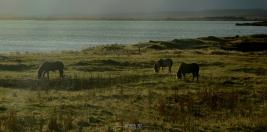 Mývatn lake and Icelandic horses