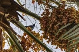 Date palm - Umm Al Quwain, UAE