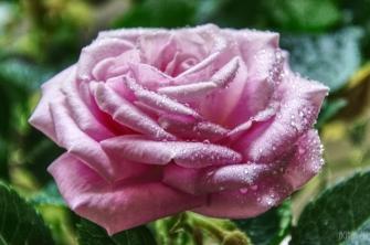flowers-dubai-40thousandkm-00827-21