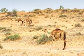 Camels - RAK, UAE