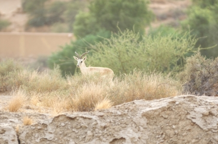 Gazelle - RAK, UAE