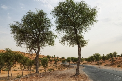 uae-ghaf-tree-40thousandkm-00162-2