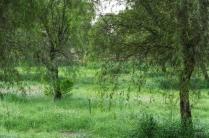 uae-ghaf-tree-40thousandkm-00175-2