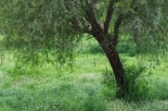 uae-ghaf-tree-40thousandkm-00186-2