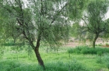 uae-ghaf-tree-40thousandkm-00197-2