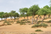 uae-ghaf-tree-40thousandkm-00215-2