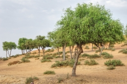uae-ghaf-tree-40thousandkm-00217-2