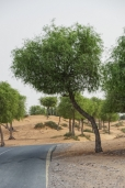 uae-ghaf-tree-40thousandkm-00220-2