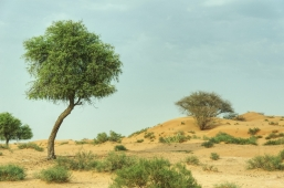uae-ghaf-tree-40thousandkm-00239-21