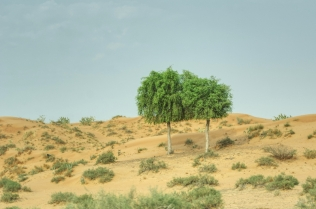 uae-ghaf-tree-40thousandkm-00317-21