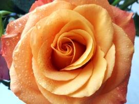 uae-dubai-rose-40thousandkm-05210-2