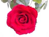 uae-dubai-roses-40thousandkm-01441-2