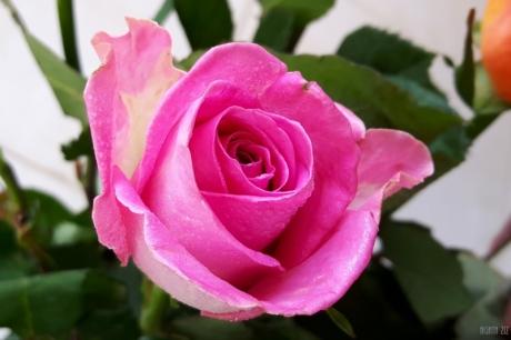uae-dubai-roses-40thousandkm-03847-2