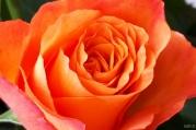 uae-dubai-roses-40thousandkm-04001-22