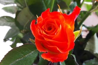 uae-dubai-roses-40thousandkm-04142-2