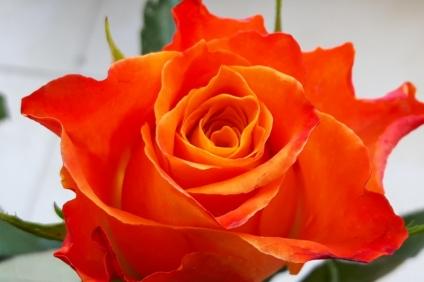uae-dubai-roses-40thousandkm-04604-22