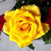 uae-dubai-roses-40thousandkm-050580-2